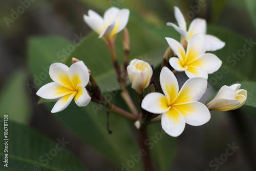 Aluminium Plumeria Plumeria is Lao national flower