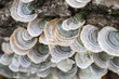 Turkey tail fungus (Trametes versicolors) on a log in a forest, Ames, Iowa, USA