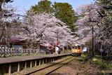 東北の春、金木の芦野公園桜祭り - 186802511