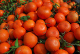 Fresh red tangerines with leaves in harvest season