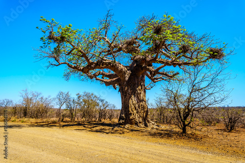 Foto op Plexiglas Baobab Baobab Tree under clear blue sky in spring time in Kruger National Park in South Africa