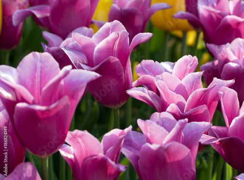 Fotobehang Tulpen flowers bloom tulips field background