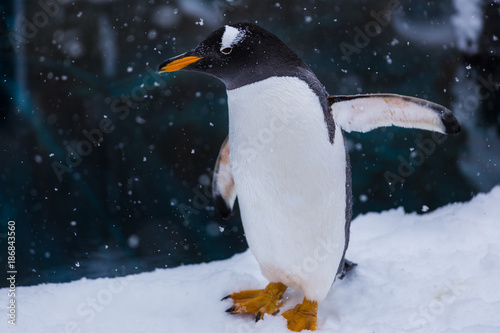 Fotobehang Pinguin Penguin in a Zoo standing spreading his wings in snow duing falling snow on a cold day