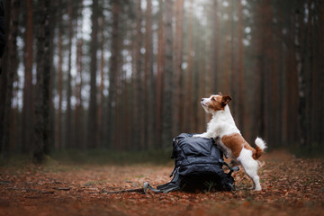 The dog and the backpack. Jack Russell Terrier in the forest