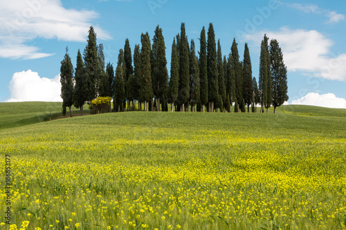 Poster Toscane Wildflowers and cypress trees in Tuscany