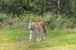 Walking Amur tiger