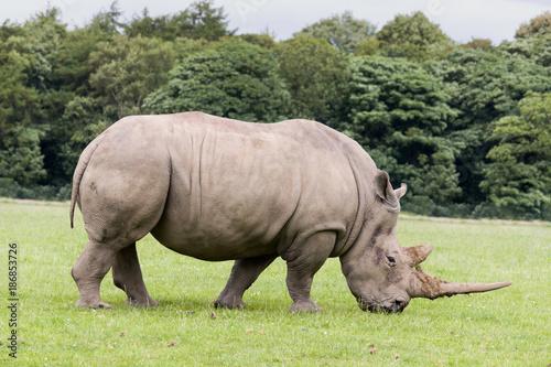 Fotobehang Neushoorn African White Rhino