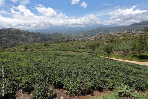 Foto op Aluminium Khaki Teeplantagen in Sri Lanka