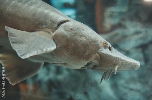Foto op Canvas Natuur Atlantic sturgeon in the zoo. Acipenser oxyrinchus oxyrinchus.