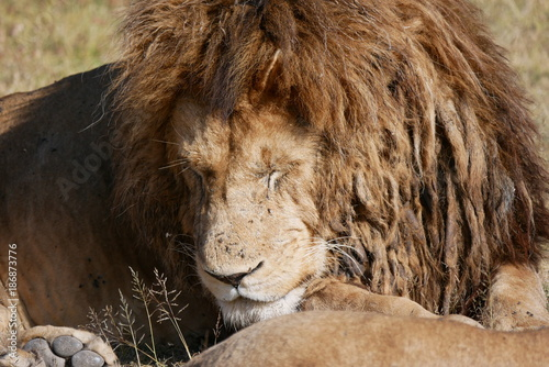 Male lion sleeping in Ngorongoro National Park, Tanzania Poster