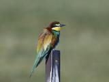 European bee-eater (Merops apiaster) - 186874117
