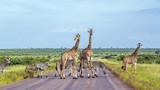Giraffe and Plains zebra in Kruger National park, South Africa - 186875337