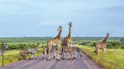 Fototapeta Giraffe and Plains zebra in Kruger National park, South Africa