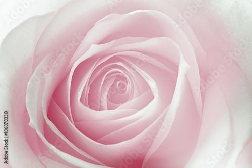 makro róży