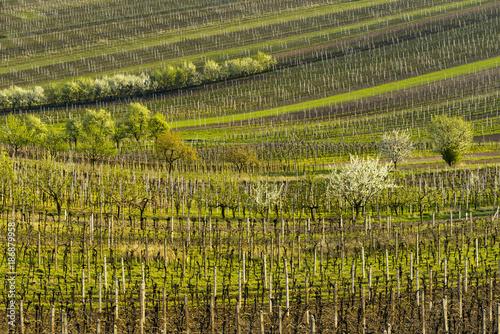 Poster Wijngaard Vineyards in spring