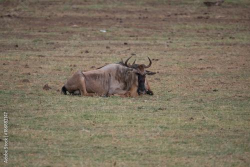 Foto op Aluminium Cappuccino Wildebeest in Lake Manyara National Park, Tanzania