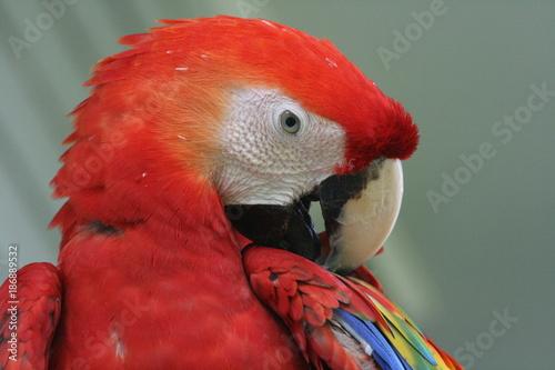 Aluminium Papegaai Bird, parrot, in the Surinam jungle