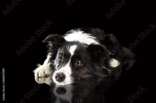 border collie on a black background Poster