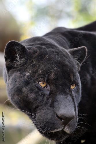 Aluminium Panter Portrait de jaguar noir