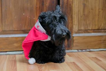funny naughty dog in Santa hat