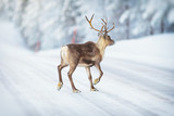 Reindeer crossing a winter road during early morning