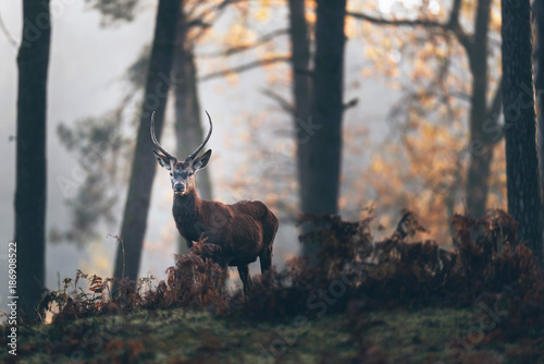 Red deer stag with pointed antlers between ferns of misty autumn forest.