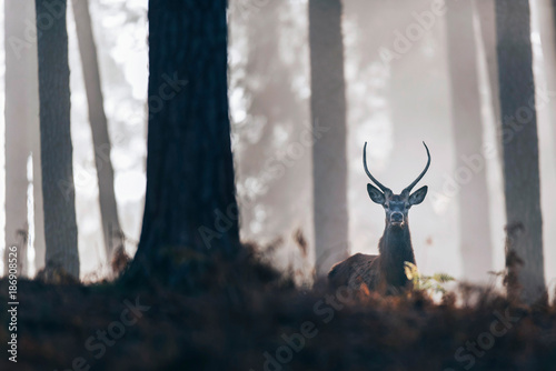 Red deer stag with pointed antlers looking over ferns in misty autumn forest.