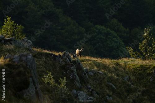 Foto op Plexiglas Weg in bos Chamois Shammy Goat