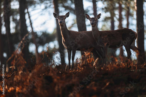 Tuinposter Chocoladebruin Two red deer hinds in brown colored ferns of autumn forest.