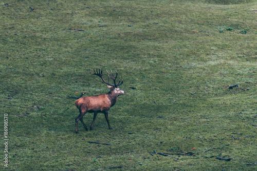 Foto op Aluminium Khaki Red deer stag walking in meadow. High angle view.