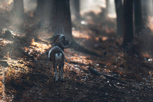 Foto op Canvas Natuur Mouflon standing on hill in misty autumn forest.