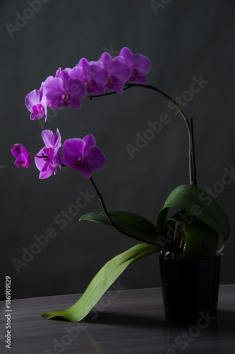 orchid flower on the black background in soft light.  - 186909129