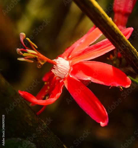 Flor amazônica, Pará, Brasil