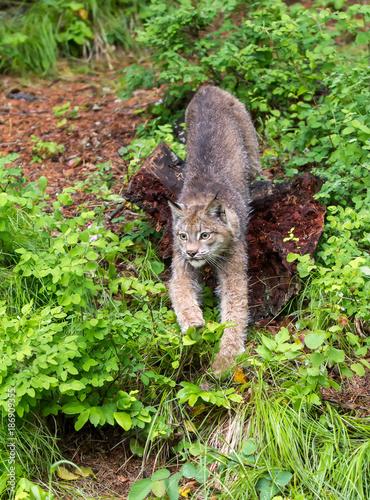 Foto op Aluminium Canada Canada Lynx