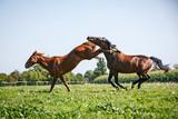 Streitende Pferde - 186913314