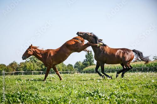 Streitende Pferde © Nadine Haase
