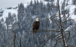 Bald Eagle Raptor