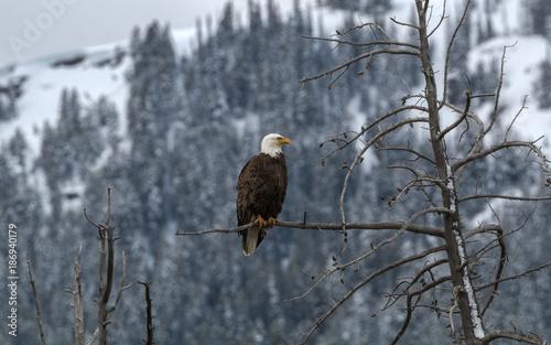 Plexiglas Eagle Bald Eagle Raptor