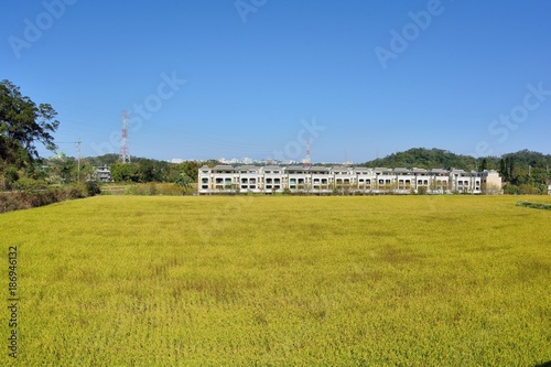 Fotobehang Honing Lush green paddy in rice field ,Winter and Autumn background in the Taiwan.