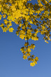 yellow leaves of tree in autumn under blue sky