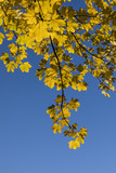 yellow leaves of tree in autumn under blue sky - 186965160