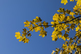 yellow leaves of tree in autumn under blue sky - 186965161