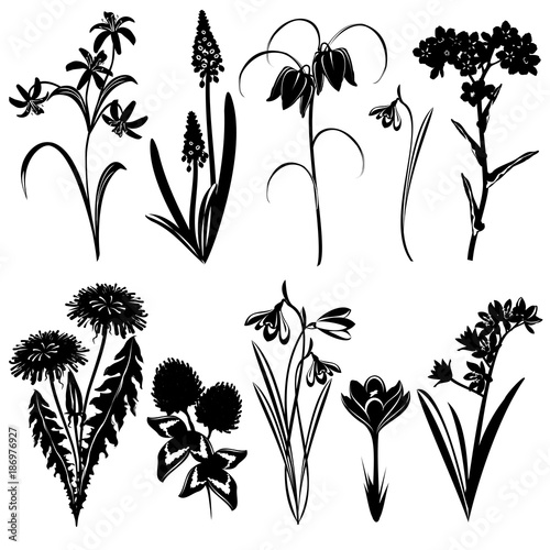 Fototapeta Set of spring flowers silhouettes (Forget-me-not, Star of Bethlehem, muscari, snowdrop, crocus, clover, dandelion, chequered lily, bluebell). Hand drawn vector illustrations on white background.