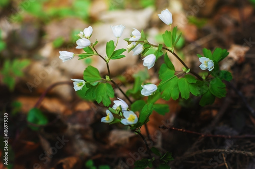 Spring flowers in the forest. - 186979310