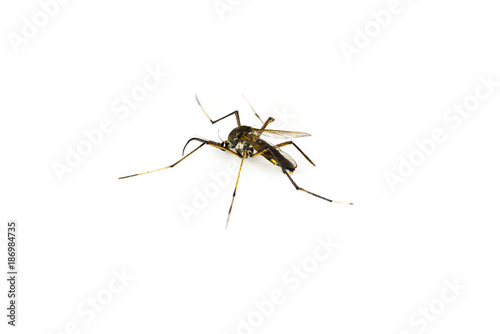 Mosquito on white background isolated with copy space - 186984735