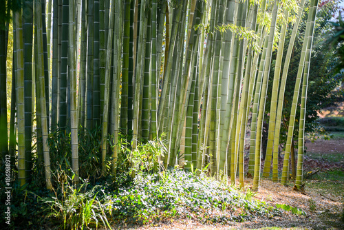 Aluminium Bamboe green bamboo nature exotic tropical rain forest background in asian country