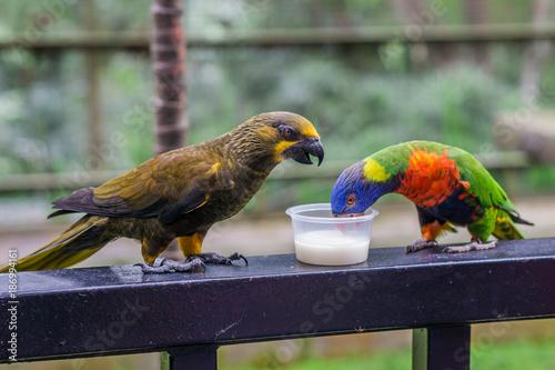 Aluminium Papegaai Duyvenbode's brown lory and Rainbow lorikeet drink milk. Bird Park Kuala Lumpur, Malaysia.