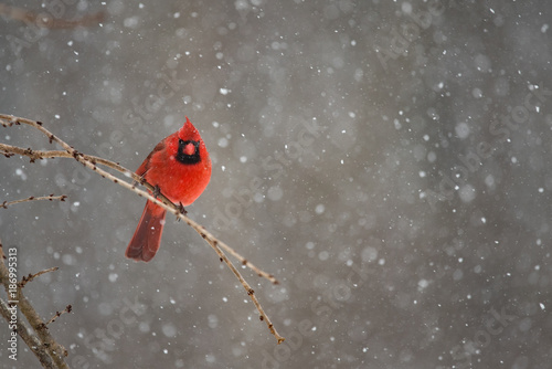 Foto op Canvas Natuur Red Cardinal on a snowy winter day