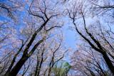 満開の桜 - 186997390