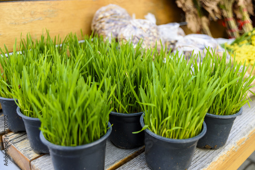 Foto op Canvas Natuur Young green Christmas wheat